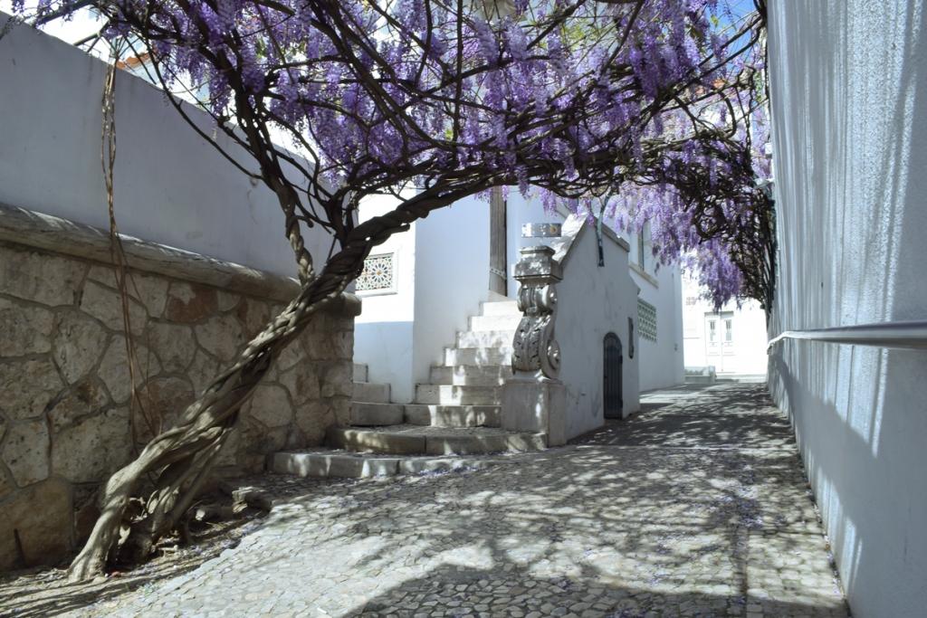 Glicínia à entrada do Museu Bordalo Pinheiro
